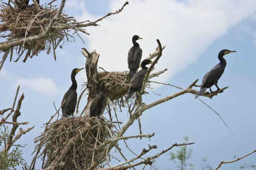 shutterstock_165782894Cormorants and nests on a tree